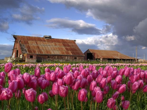 Tulip Farm- Eric Bjerke